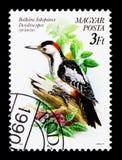 Συριακός δρυοκολάπτης (syriacus Dendrocopos), πουλιά serie, circa 199 Στοκ Εικόνα