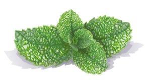 Συρμένα διάνυσμα φρέσκα φύλλα μεντών που απομονώνονται στο άσπρο υπόβαθρο Κλαδάκι peppermint, θερινά πράσινα delishes Ευώδης-μέντ διανυσματική απεικόνιση