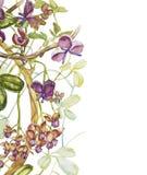 Συρμένα φύλλα quinata akebia Watercolor χέρι και πορφυρά λουλούδια σε ένα άσπρο υπόβαθρο Βοτανική απεικόνιση απεικόνιση αποθεμάτων