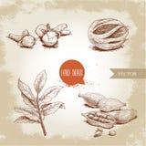Συρμένα χέρι καρυκεύματα σκίτσων καθορισμένα Κλάδος φύλλων κόλπων, φρούτα μοσχοκάρυδου, καρδάμωμα και γαρίφαλα Διάνυσμα χορταριών απεικόνιση αποθεμάτων