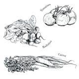 Συρμένα χέρι σκίτσα μελανιού λαχανικών καθορισμένα Απεικόνιση αποθεμάτων