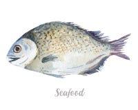 Συρμένα χέρι ψάρια Watercolor φρέσκια απεικόνιση θαλασσινών στο άσπρο υπόβαθρο Στοκ Εικόνες