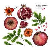 Συρμένες χέρι φρούτα και εγκαταστάσεις ροδιών Το διάνυσμα χάραξε την έγχρωμη εικονογράφηση Juicy φυσικά φρούτα Τρόφιμα υγιή Στοκ φωτογραφίες με δικαίωμα ελεύθερης χρήσης