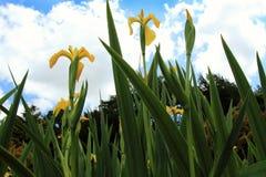 συρμένη ίριδα απεικόνισης χεριών λουλουδιών Στοκ εικόνες με δικαίωμα ελεύθερης χρήσης