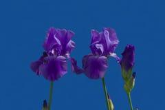 συρμένη ίριδα απεικόνισης χεριών λουλουδιών Στοκ Φωτογραφία