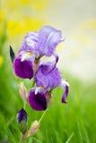 συρμένη ίριδα απεικόνισης χεριών λουλουδιών Στοκ εικόνα με δικαίωμα ελεύθερης χρήσης