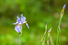 συρμένη ίριδα απεικόνισης χεριών λουλουδιών Στοκ Εικόνες