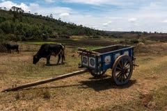 Συρμένη βοοειδή μεταφορά μπροστά από τους τομείς ρυζιού στη Μαδαγασκάρη Στοκ Φωτογραφίες