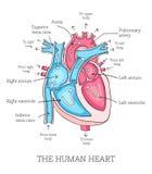 Συρμένη χέρι απεικόνιση της ανθρώπινης ανατομίας καρδιών Εκπαιδευτικό dia ελεύθερη απεικόνιση δικαιώματος