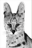 Συρμένη χέρι εικόνα ενός Serval διανυσματική απεικόνιση