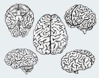 Συρμένοι χέρι ανθρώπινοι εγκέφαλοι διάνυσμα Στοκ Εικόνα