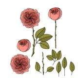 Συρμένος ο χέρι κήπος αυξήθηκε juliet λουλούδι r διανυσματική απεικόνιση