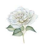 Συρμένος χέρι λεπτός άσπρος watercolor αυξήθηκε απεικόνιση αποθεμάτων