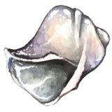 Συρμένο κοχύλι θάλασσας Watercolor χέρι Στοκ φωτογραφία με δικαίωμα ελεύθερης χρήσης