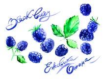 Συρμένο χέρι βατόμουρο ζωγραφικής watercolor στο άσπρο υπόβαθρο απεικόνιση των μούρων Το όνομα του watercolor στα αγγλικά, ελεύθερη απεικόνιση δικαιώματος