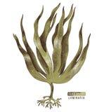 Συρμένο χέρι ζωηρόχρωμο φύκι digitata laminaria διανυσματική απεικόνιση