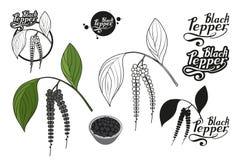 Συρμένο χέρι μαύρο πιπέρι, πικάντικο συστατικό, μαύρο λογότυπο πιπεριών, υγιής οργανική τροφή, μαύρο πιπέρι καρυκευμάτων στο άσπρ στοκ φωτογραφία με δικαίωμα ελεύθερης χρήσης