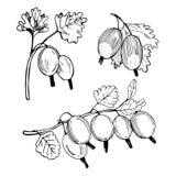 Συρμένο χέρι μούρο ριβήσιο Διανυσματική απεικόνιση σκίτσων στοκ φωτογραφίες
