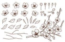 Συρμένο χέρι σύνολο άνθησης λουλουδιών άνοιξη Λουλούδια, οφθαλμοί, φύλλα και κλάδοι Sakura που απομονώνονται στο άσπρο υπόβαθρο Κ απεικόνιση αποθεμάτων