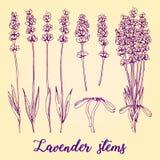 Συρμένο χέρι σύνολο διαφορετικών lavender μίσχων και ανθοδέσμης Ρεαλιστικό διανυσματικό σκίτσο με το οργανικό χορτάρι καλλυντικών Στοκ Εικόνα