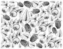 Συρμένο χέρι υπόβαθρο της της Χιλής γκοϋάβας και Boysenberries ελεύθερη απεικόνιση δικαιώματος