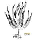 Συρμένο χέρι φύκι digitata laminaria απεικόνιση αποθεμάτων