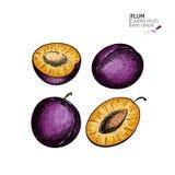 Συρμένο χέρι χρωματισμένο δαμάσκηνο και μισό Χαραγμένη διάνυσμα απεικόνιση Juicy φυσικά φρούτα Υγιές συστατικό τροφίμων ξέν. ελεύθερη απεικόνιση δικαιώματος