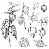 Συρμένο χέρι peruviana Physalis φρούτων Physalis Διανυσματικό σκίτσο στοκ φωτογραφία