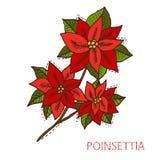Συρμένο χέρι Poinsettia Στοκ Φωτογραφίες