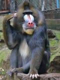 Συσκευασία, οι χαρές και οι θλίψεις της έκφρασης mandrill στοκ εικόνα με δικαίωμα ελεύθερης χρήσης