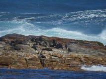 Συσσώρευση των λιονταριών θάλασσας στο ακρωτήριο της καλής ελπίδας Στοκ Φωτογραφία