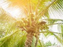 Συστάδα καρύδων στο δέντρο καρύδων Στοκ Εικόνες