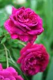 Συστάδα της βροχή-διαστιγμένης ερυθράς αγγλικής πυράκτωσης τριαντάφυλλων σε έναν κήπο άνοιξη Στοκ εικόνα με δικαίωμα ελεύθερης χρήσης