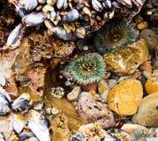 Συστάδα της ζωηρόχρωμης θάλασσας anemones που περιβάλλεται από τα mucles Στοκ Εικόνα