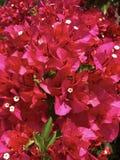 Συστάδα του ρόδινου υποβάθρου λουλουδιών Bougainvillea Στοκ Εικόνες