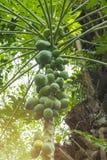Συστάδα του nucifera Cocos καρύδων - ένα μέλος της οικογένειας φοινικών οικογενειακού Arecaceae Στοκ Φωτογραφία