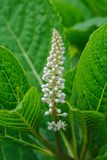Συστάδα των άσπρων λουλουδιών Phytolac ή του αμερικανικού σταφυλιού Phytolacca στοκ φωτογραφίες