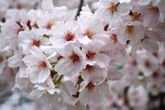 Συστάδα των άσπρων λουλουδιών Sakura/του άνθους κερασιών στοκ εικόνα με δικαίωμα ελεύθερης χρήσης