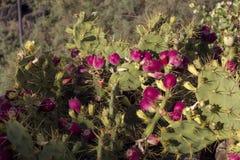 Συστάδα των εδώδιμων φρούτων τραχιών αχλαδιών ή κάκτων Higo tropic στοκ εικόνες