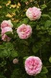 Συστάδα των πολύβλαστων ρόδινων τριαντάφυλλων στοκ εικόνα με δικαίωμα ελεύθερης χρήσης