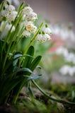 Συστάδα των φωτεινών άσπρων λουλουδιών galanthus snowdrop που ανθίζουν την άνοιξη Στοκ Εικόνα
