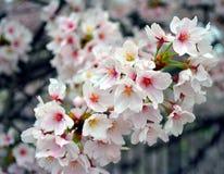 Συστάδα των όμορφων λουλουδιών Sakura/του άνθους κερασιών στοκ εικόνες με δικαίωμα ελεύθερης χρήσης