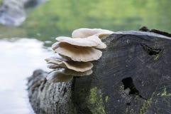 Συστάδα ostreatus Pleurotus των εδώδιμων μανιταριών Στοκ Φωτογραφίες