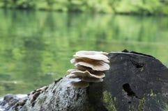 Συστάδα ostreatus Pleurotus των εδώδιμων μανιταριών Στοκ Εικόνες