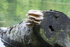 Συστάδα ostreatus Pleurotus των εδώδιμων μανιταριών Στοκ Εικόνα