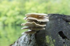 Συστάδα ostreatus Pleurotus των εδώδιμων μανιταριών Στοκ εικόνες με δικαίωμα ελεύθερης χρήσης