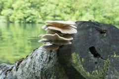 Συστάδα ostreatus Pleurotus των εδώδιμων μανιταριών Στοκ εικόνα με δικαίωμα ελεύθερης χρήσης