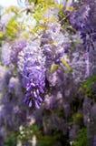 Συστάδα λουλουδιών Wisteria Στοκ εικόνες με δικαίωμα ελεύθερης χρήσης