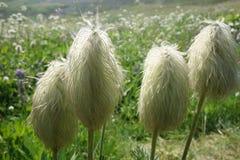Συστάδα τεσσάρων Pasqueflower Seedheads στο λιβάδι wildflower στο πιό βροχερό εθνικό πάρκο υποστηριγμάτων Στοκ εικόνα με δικαίωμα ελεύθερης χρήσης