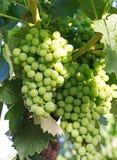 Συστάδα της ένωσης σταφυλιών vine-stock Στοκ Φωτογραφίες
